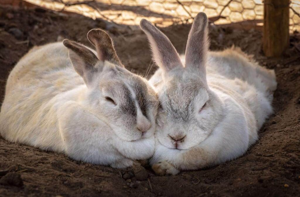 rabbit as a pet
