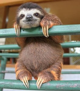 sloths have long claws measuring up to 4 inches