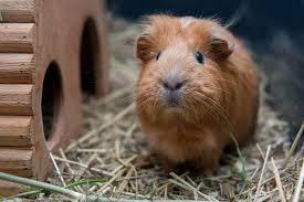 Guinea pigs eat their own poop