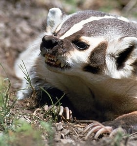 Badgers are the world's fastest digging animal, with long claws that can dig in both directions.