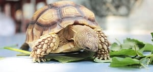 Turtle as a pet need fresh vegetables and fruits as a part of their diet