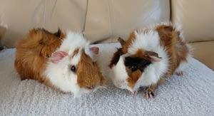 Guinea pigs are herd animals