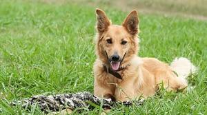 German Shepherd mix with Golden Retreiver