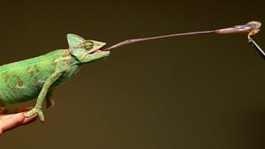 Chameleon catching it's prey with its really long tongue