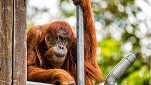 Sumatran Orangutan is the most endengared species of orangutan