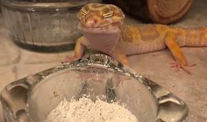 Leopard Geckos eating calcium in a bowl