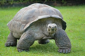Aldabra Tortoise is one of the animal that lives the longest on land.