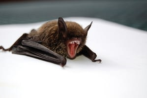 Brandt's bats are small in size with a lifespan of 41 years