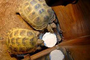 Supplementing your pet turtles diet with calcium is necessary