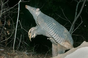 what animal has the longest claws? The giant armadillo is the longest clawed animal in the kingdom