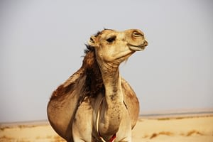 Camel can live upto 3 weeks without drinking water.