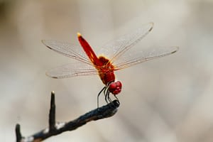 Dragon flies are one of the longest migrating animals with migration up to 17,000 kms