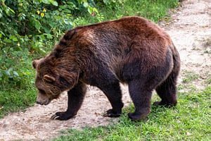 Grizzly bears are massive creatures with long claws
