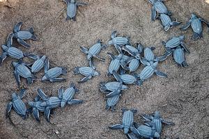 Leatherbcak Turtles