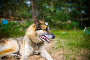 German shepherd mix with Siberian husky