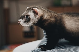 Ferrets are cuddly, low maintenance pets who are curious and active