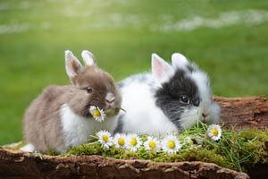 Neutering your rabbit as a pet is necessary for keeping them healthy and sane
