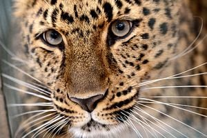 Amur Leopard would extinct from the face of the earth if not protected
