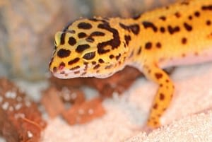 Leopard Geckos sitting in its cage