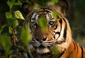 Sumatran Tiger is another critically endangered species belonging to Sumatra