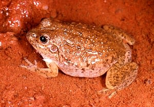 Australian water holding frog in a mud puddle.