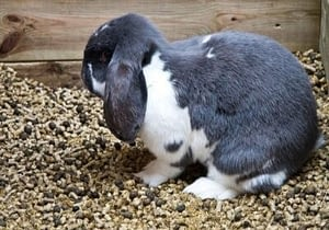 Rabbits tend to eat their own poop