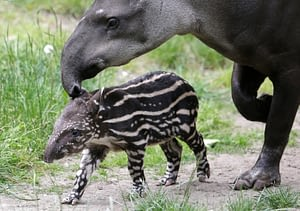 Tapir is one of the animal species that lives the longest on land with a lifespan of 35 years