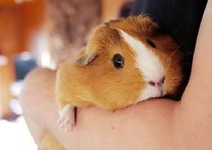 Guinea pig allergies are quite common in humans