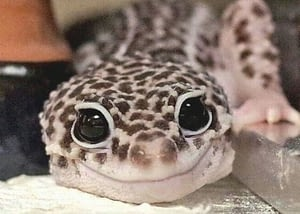 Leopard Geckos staring into camera and smiling