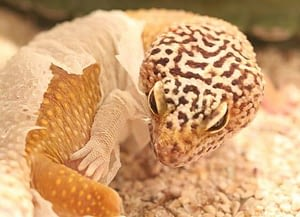 Leopard Gecko shedding its skin on its own