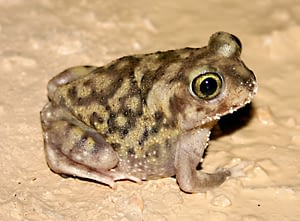 Spadefoot toad is one of the longest animal who can live without drinking water.