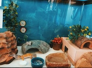 Leopard Geckos need a spacious tank with more floor space