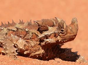 Thorny Devil in the deserts of Central Australia
