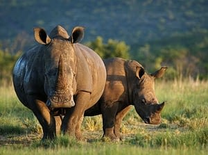 Rhinos have a pregnancy period of 450 days, making them one of the mammals with the longest pregnancy period