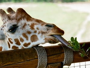 Giraffe with its unusual dark-coloured tongue