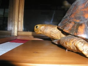 Tui Malla is a Madagascar radiated tortoise who was 188 years old