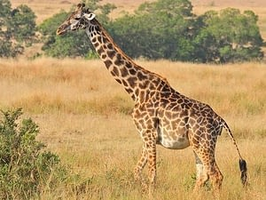 Giraffes have one of the longest gestation period in the animal kingdom