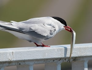Tiny Arctic Tern is the animal which has the longest migration.