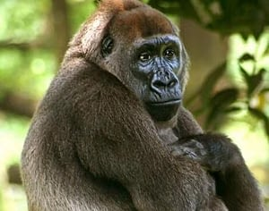 Cross river gorilla is another critically endangered species found in Africa