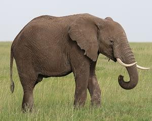 Elephants love up to 50-80 years