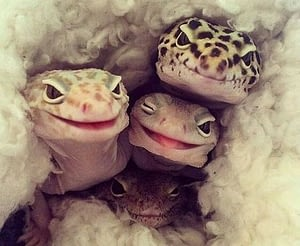 Couple of Leopard Geckos staring at a camera and smiling