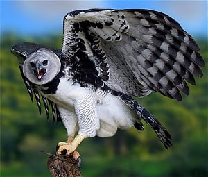 harpy eagles are one of the deadliest birds and the second-longest clawed species in the bird kingdom