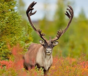 Caribou in the middle of a jungle