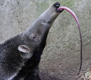 Giant Anteater has the longest tongue in the animal kingdom.