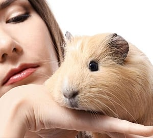 Guinea pig as a pet are not the ideal pet for young children