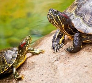 turtle as a pet are a long term commitment