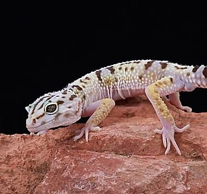 Leopard geckos are attractive and low maintenance pets