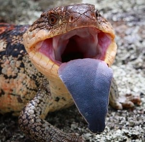 Bluetongue skink with it's wide blue tongue to scare off predators.