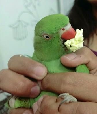 Parakeet as a pet