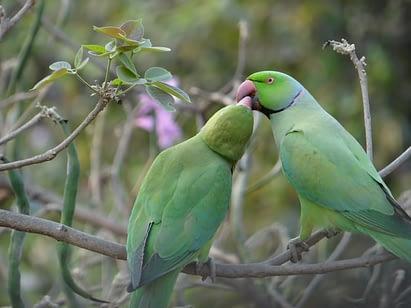 Breeding an Indian Ring-Necked Parakeet